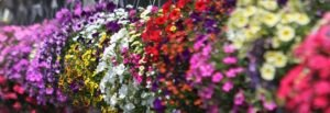 cropped-NewsEventsHeader-866x200-300x103 When To Plant A Hanging Basket?